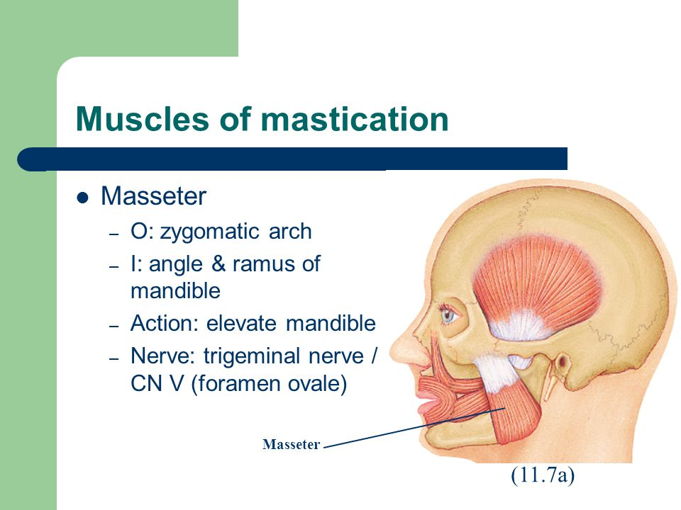 Muscles of mastication