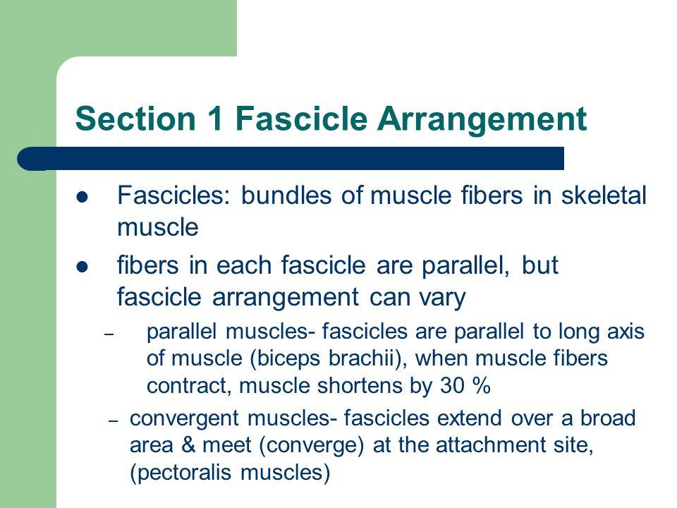 Section 1 Fascicle Arrangement