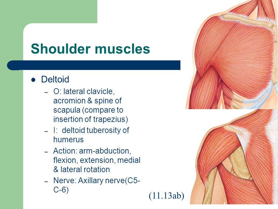 Shoulder muscles Deltoid (11.13ab)