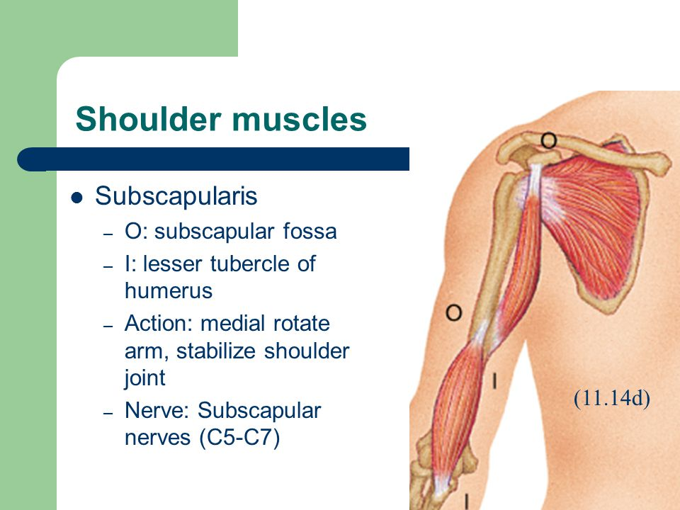 Shoulder muscles Subscapularis O: subscapular fossa