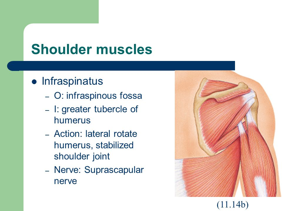 Shoulder muscles Infraspinatus O: infraspinous fossa