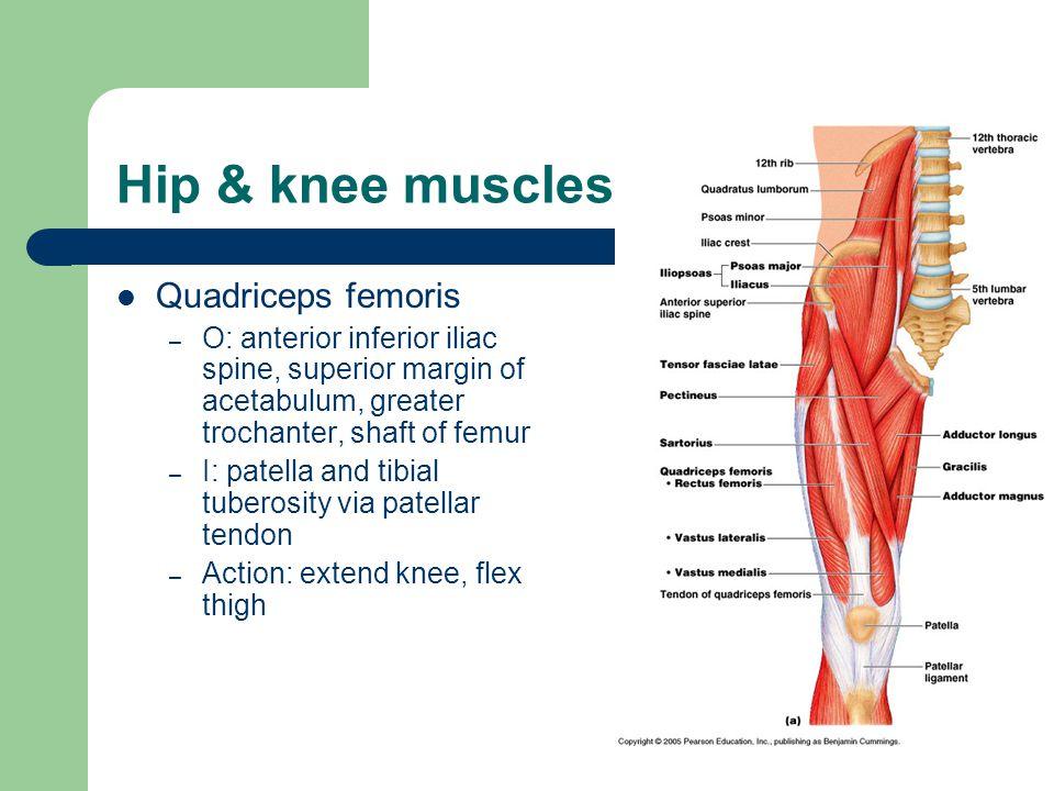 Hip & knee muscles Quadriceps femoris