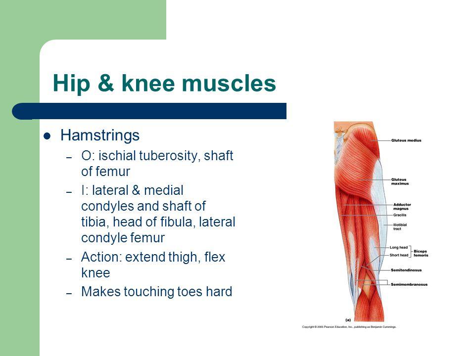Hip & knee muscles Hamstrings O: ischial tuberosity, shaft of femur