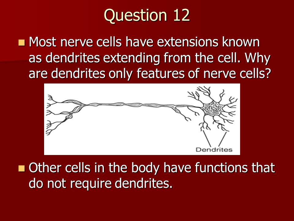Question 12 Most nerve cells have extensions known as dendrites extending from the cell. Why are dendrites only features of nerve cells