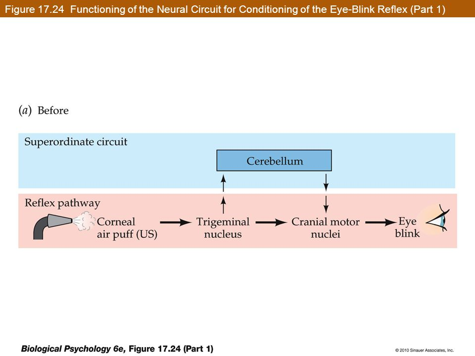 Figure 17.24 Functioning of the Neural Circuit for Conditioning of the Eye-Blink Reflex (Part 1)