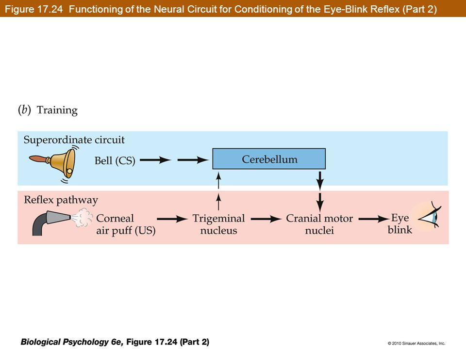 Figure 17.24 Functioning of the Neural Circuit for Conditioning of the Eye-Blink Reflex (Part 2)