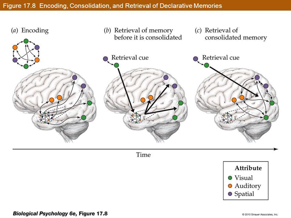 Figure 17.8 Encoding, Consolidation, and Retrieval of Declarative Memories