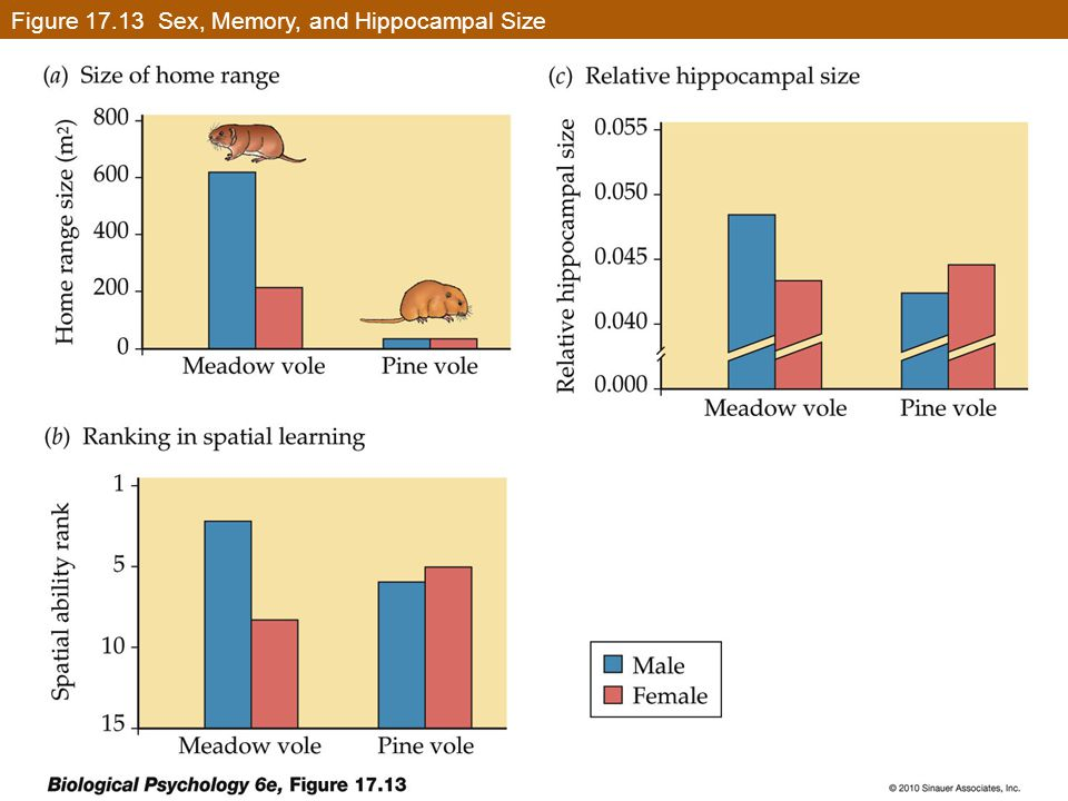 Figure 17.13 Sex, Memory, and Hippocampal Size
