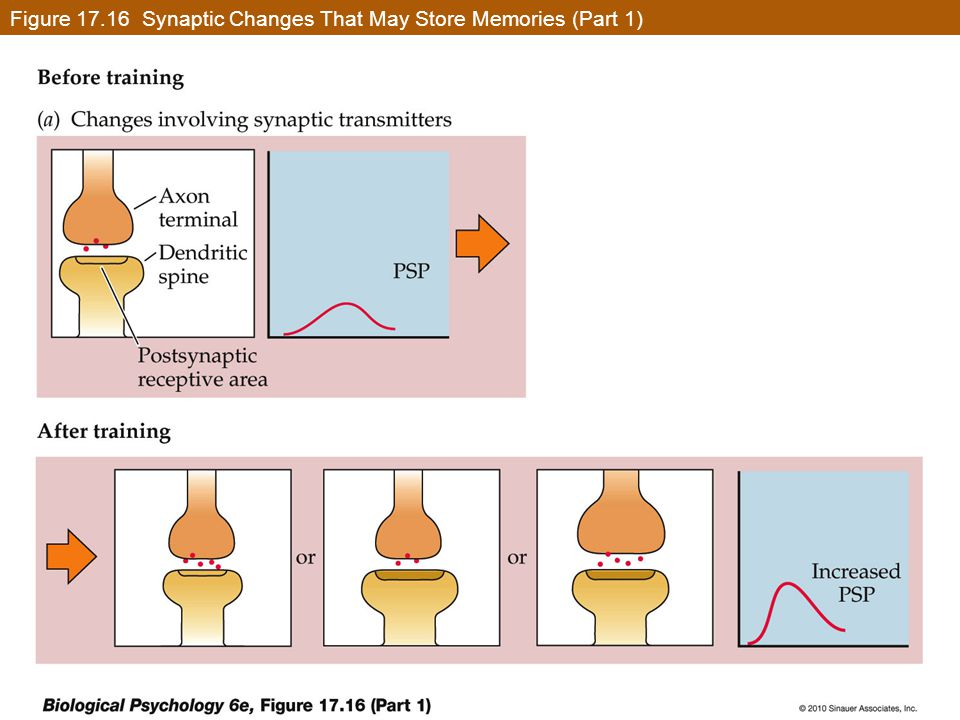 Figure 17.16 Synaptic Changes That May Store Memories (Part 1)