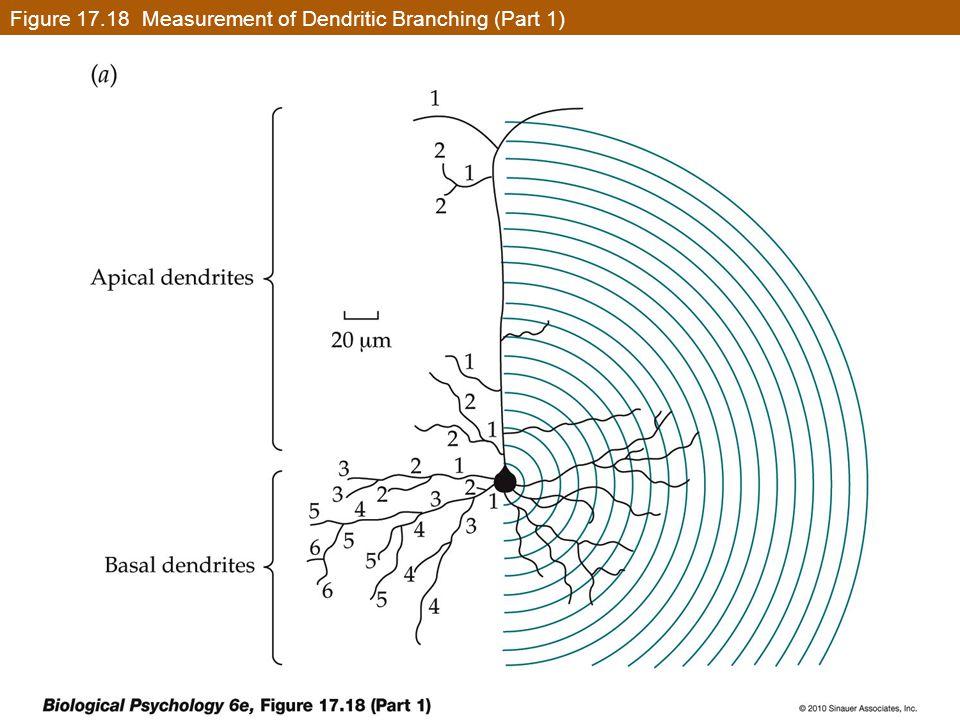 Figure 17.18 Measurement of Dendritic Branching (Part 1)