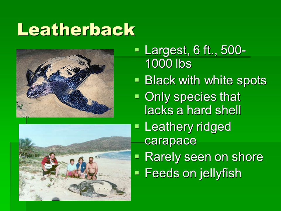 Leatherback Largest, 6 ft., 500-1000 lbs Black with white spots