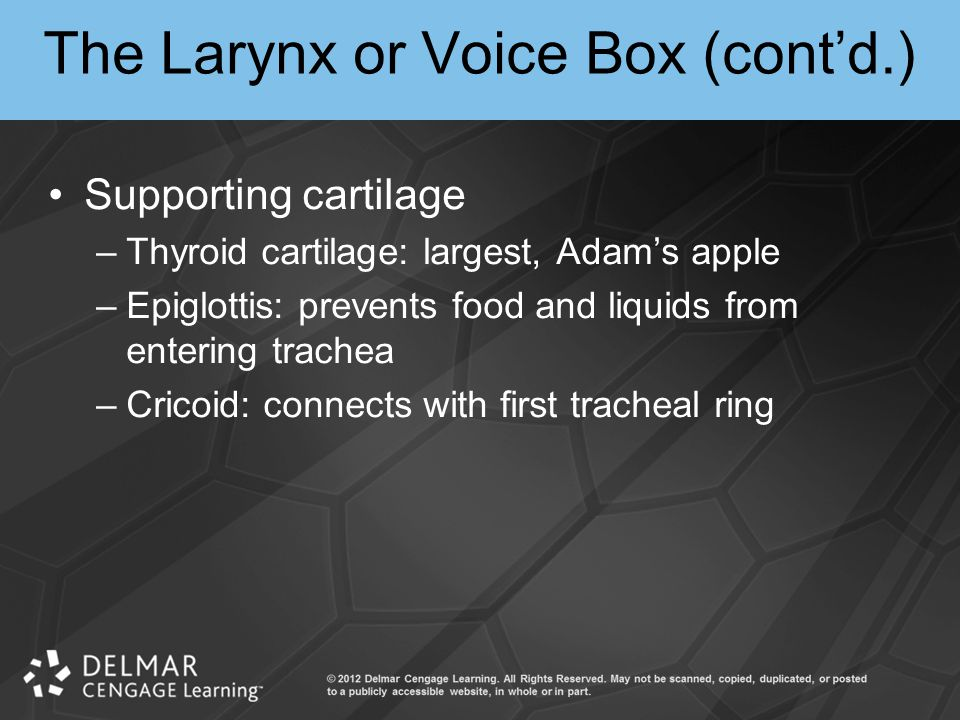 The Larynx or Voice Box (cont'd.)