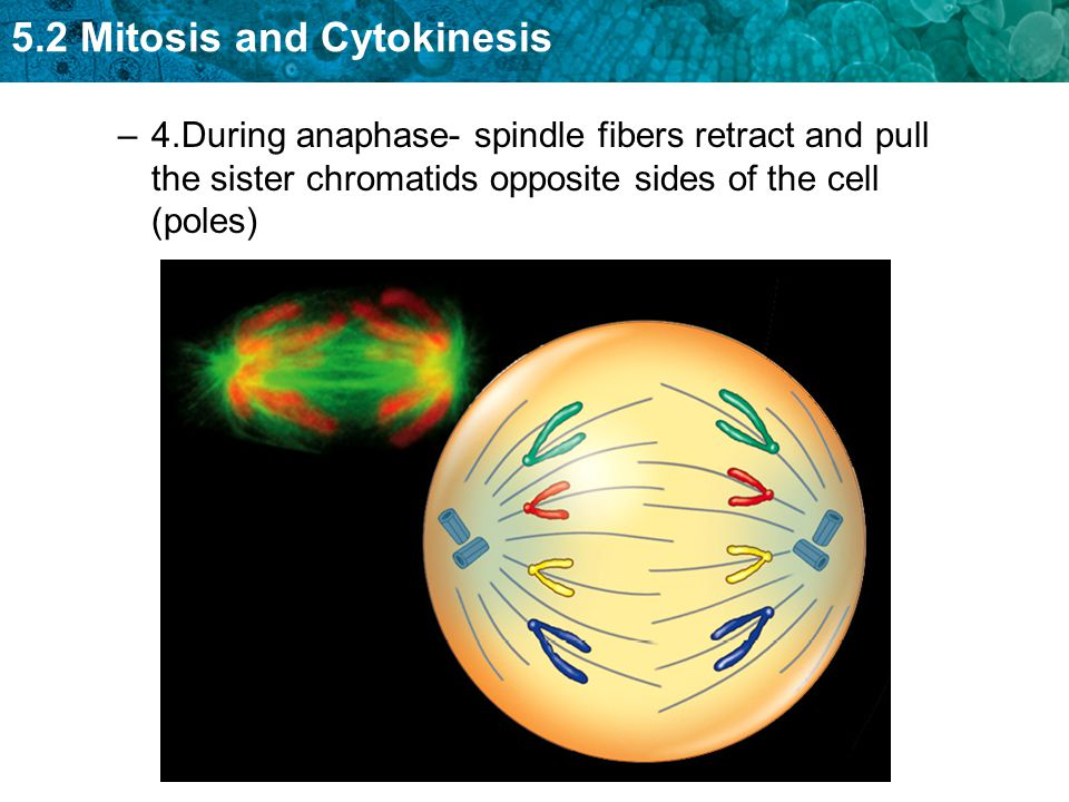 4.During anaphase- spindle fibers retract and pull the sister chromatids opposite sides of the cell (poles)
