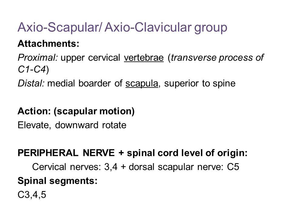 Axio-Scapular/ Axio-Clavicular group