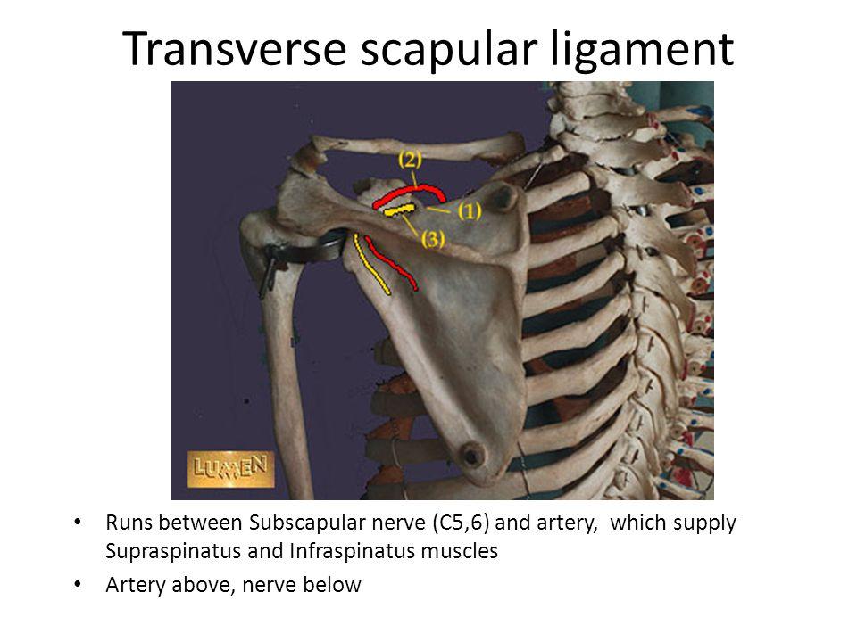 Transverse scapular ligament
