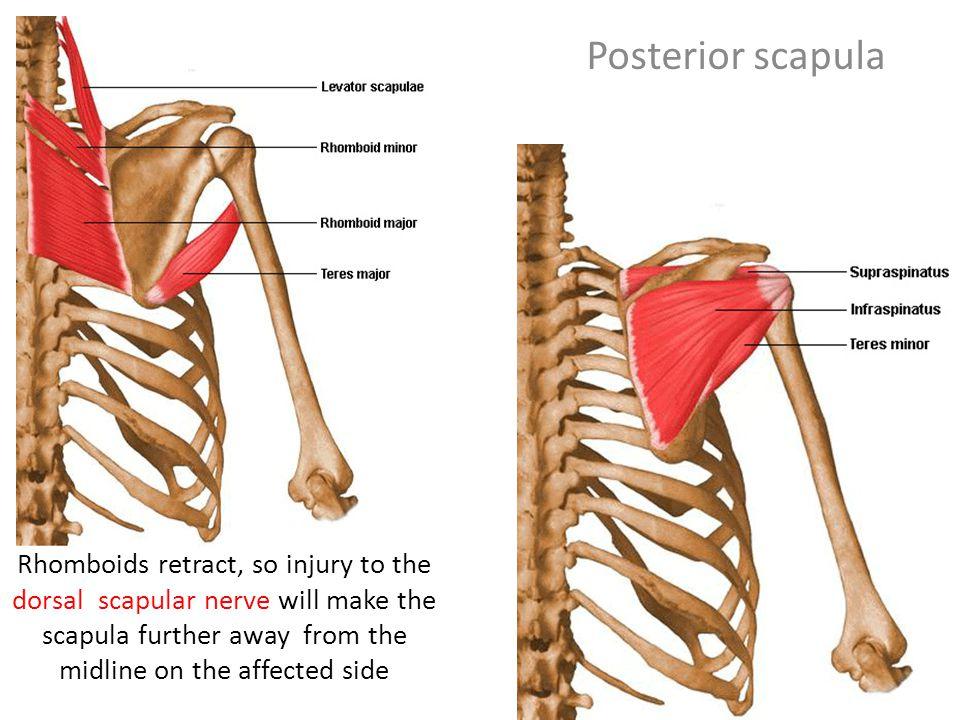 Scapular Region artmiller.medicalillustration.com. - ppt ...
