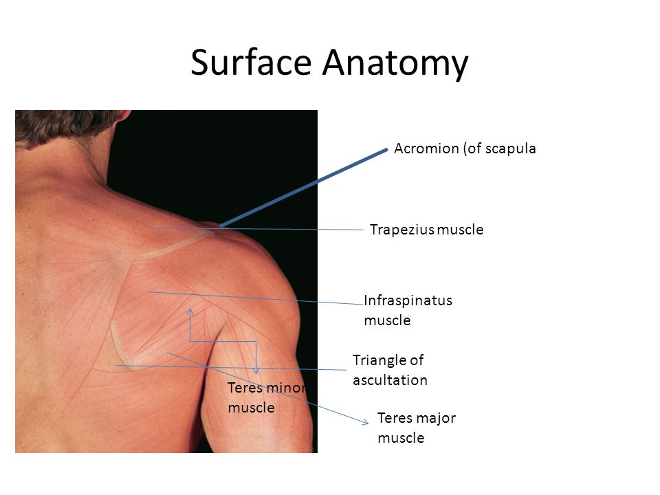 Surface Anatomy Spine Acromion (of scapula Trapezius muscle