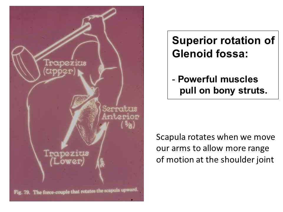 Superior rotation of Glenoid fossa: Powerful muscles