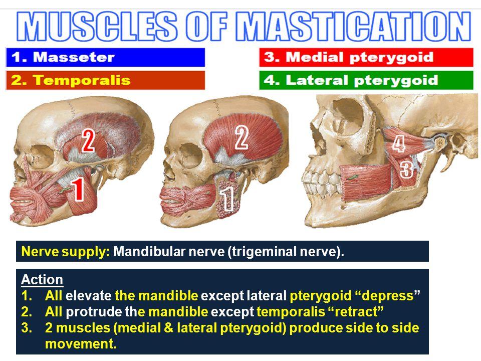 Nerve supply: Mandibular nerve (trigeminal nerve).