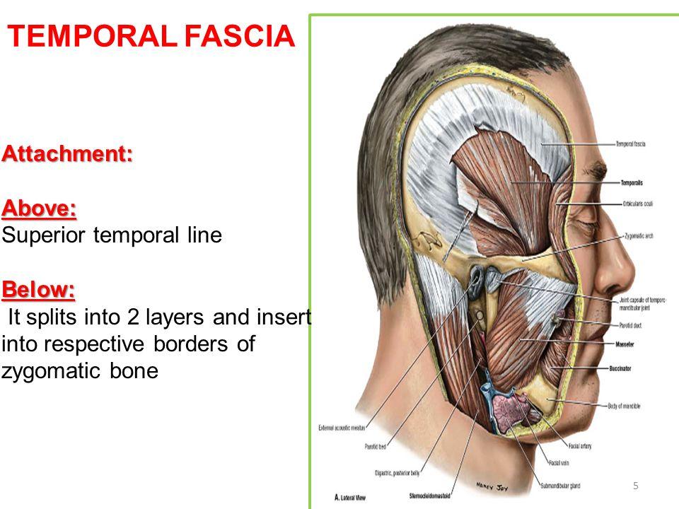 TEMPORAL FASCIA Attachment: Above: Superior temporal line Below: