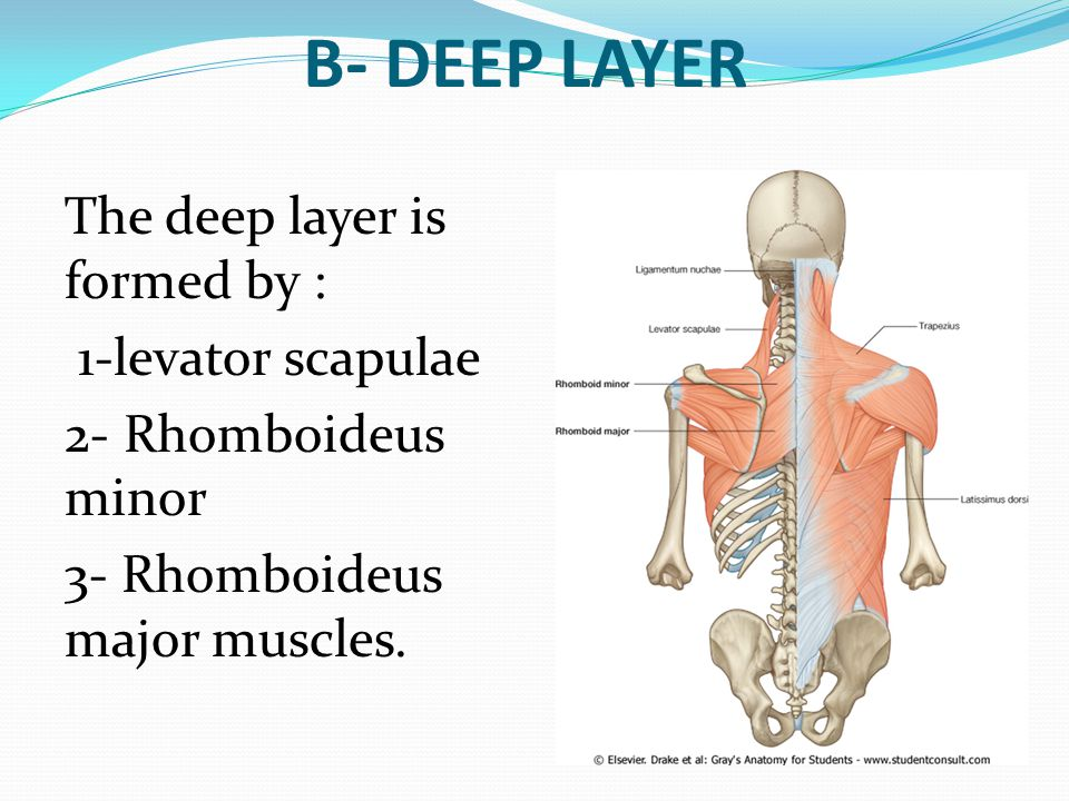 B- DEEP LAYER The deep layer is formed by : 1-levator scapulae 2- Rhomboideus minor 3- Rhomboideus major muscles.
