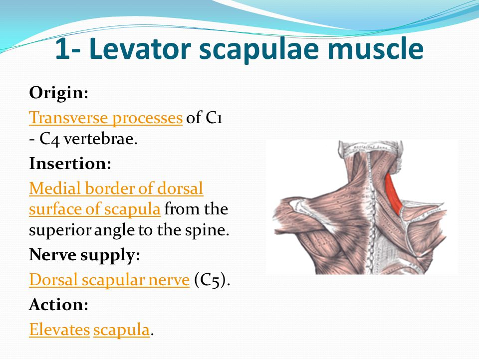 1- Levator scapulae muscle
