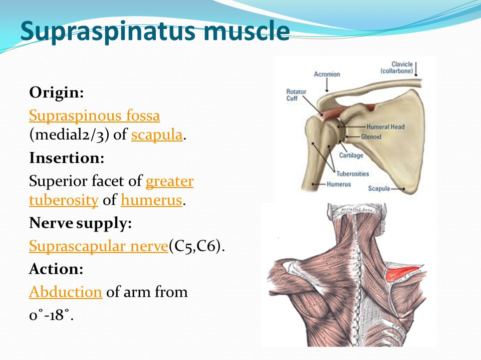 Supraspinatus muscle Origin: