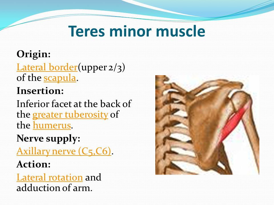 Teres minor muscle Origin: Lateral border(upper 2/3) of the scapula.