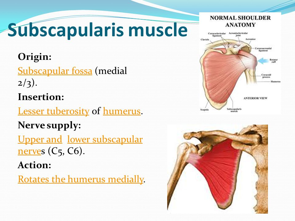 Subscapularis muscle Origin: Subscapular fossa (medial 2/3).