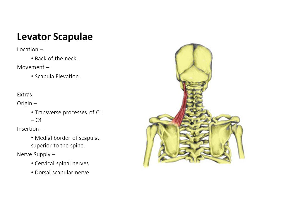Levator Scapulae Location – Back of the neck. Movement –