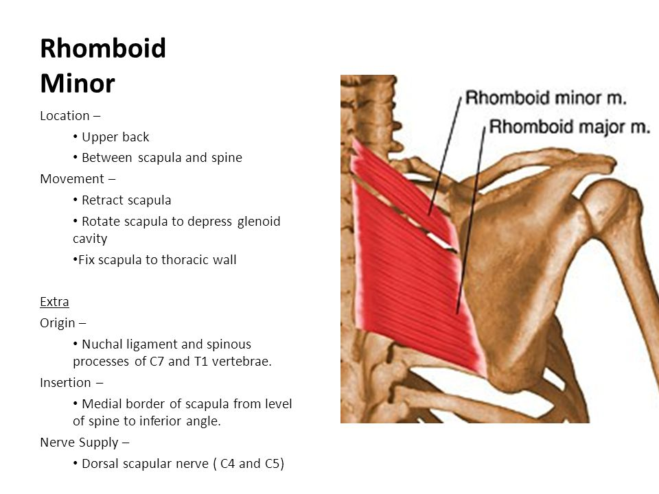 Rhomboid Minor Location – Upper back Between scapula and spine