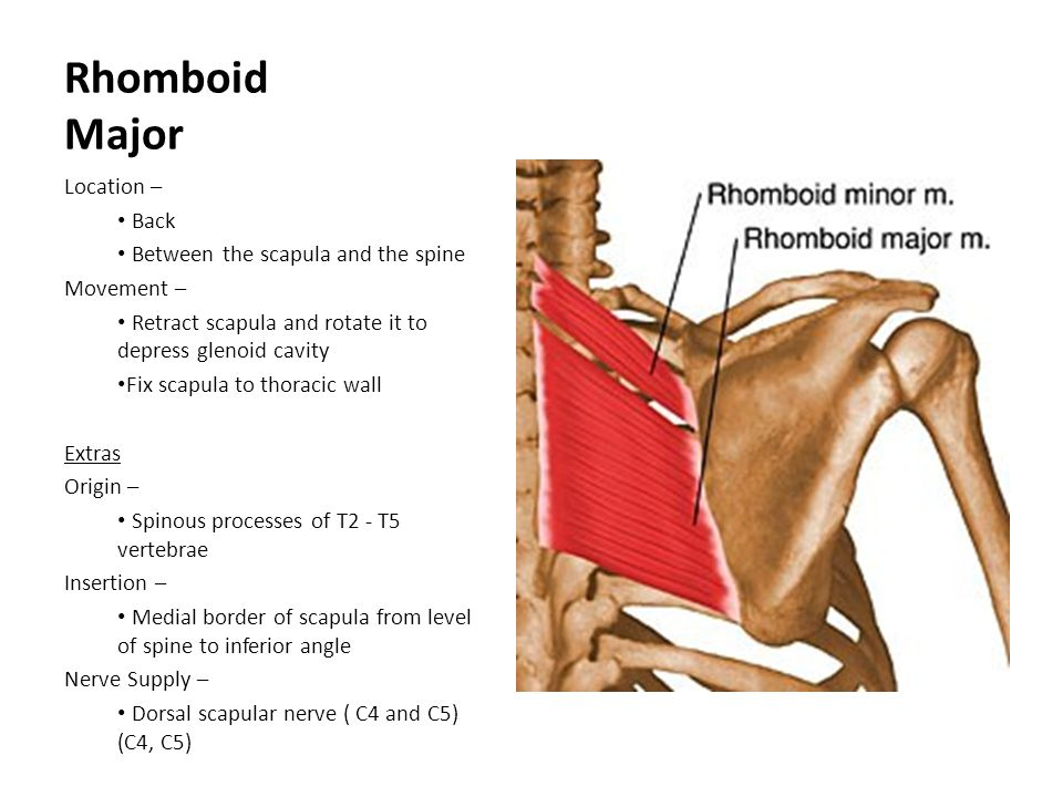Rhomboid Major Location – Back Between the scapula and the spine