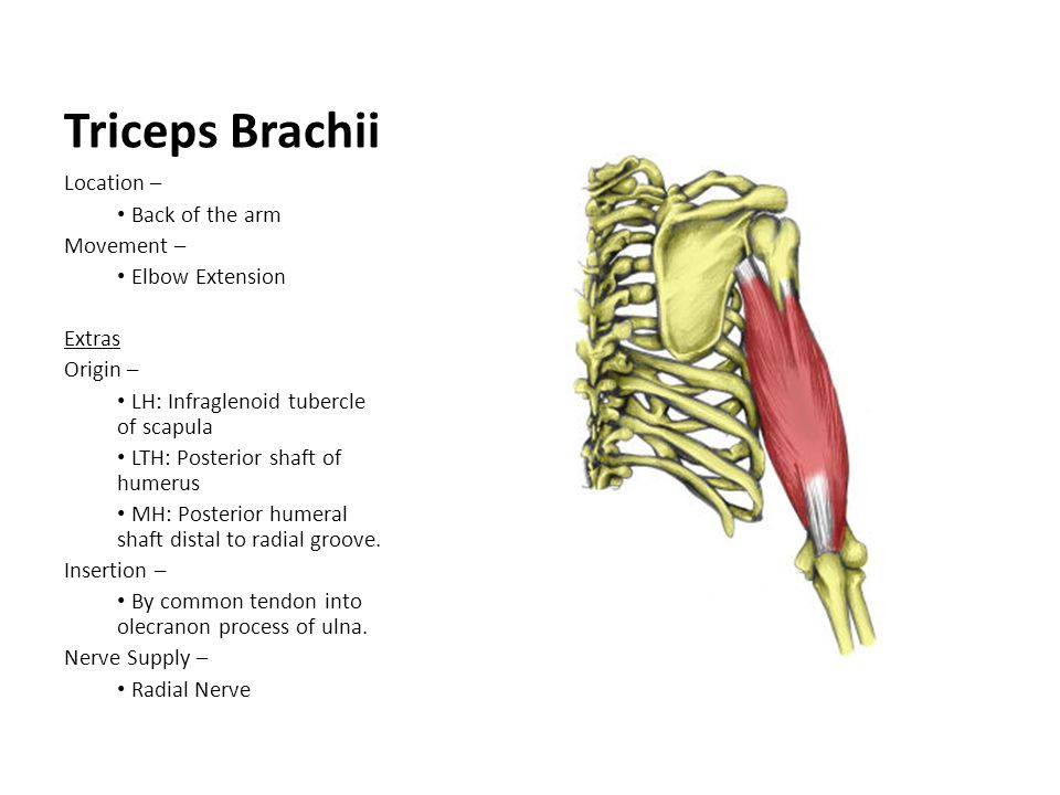 Triceps Brachii Location – Back of the arm Movement – Elbow Extension