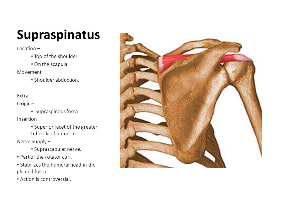 Supraspinatus Location – Top of the shoulder On the scapula Movement –