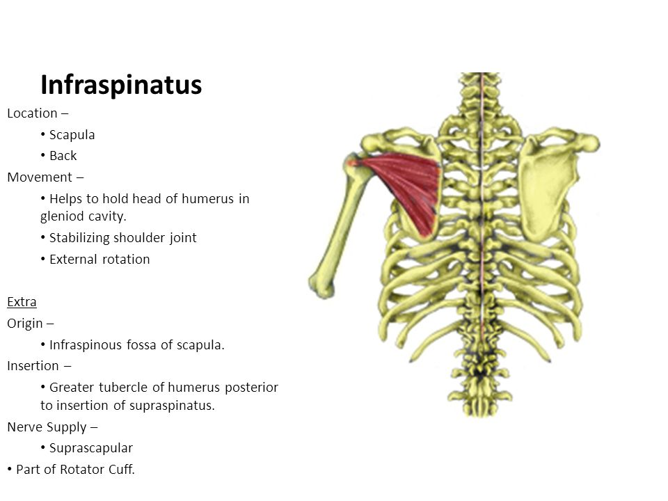 Infraspinatus Location – Scapula Back Movement –