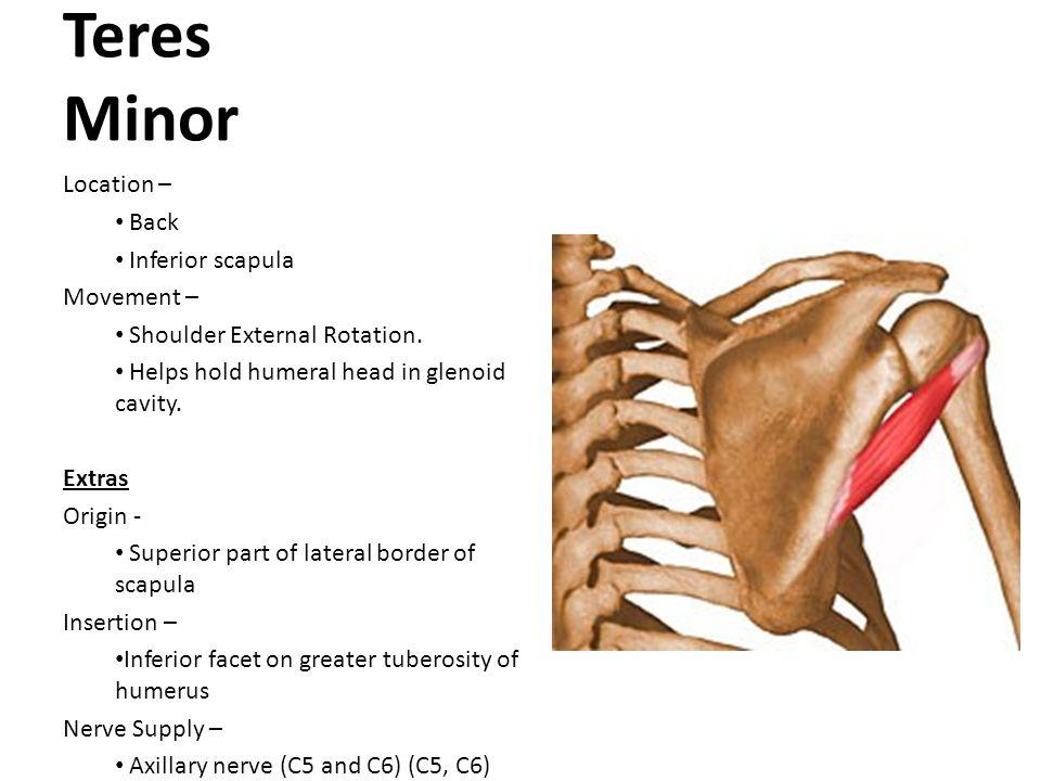 Teres Minor Location – Back Inferior scapula Movement –
