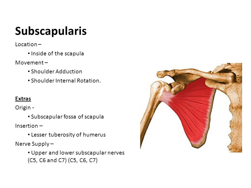 Subscapularis Location – Inside of the scapula Movement –