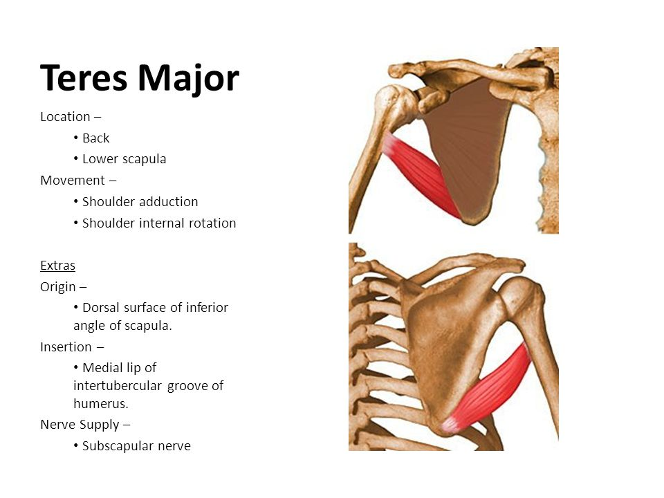 Teres Major Location – Back Lower scapula Movement –
