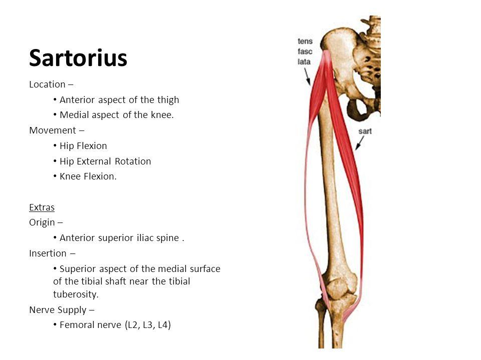 Sartorius Location – Anterior aspect of the thigh