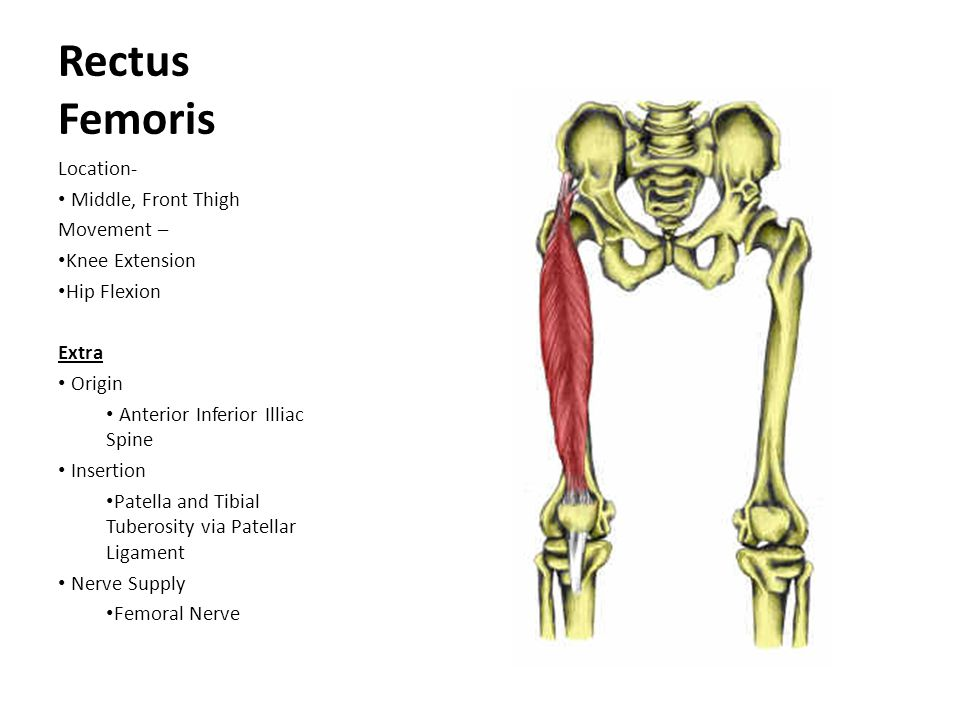 Rectus Femoris Location- Middle, Front Thigh Movement – Knee Extension