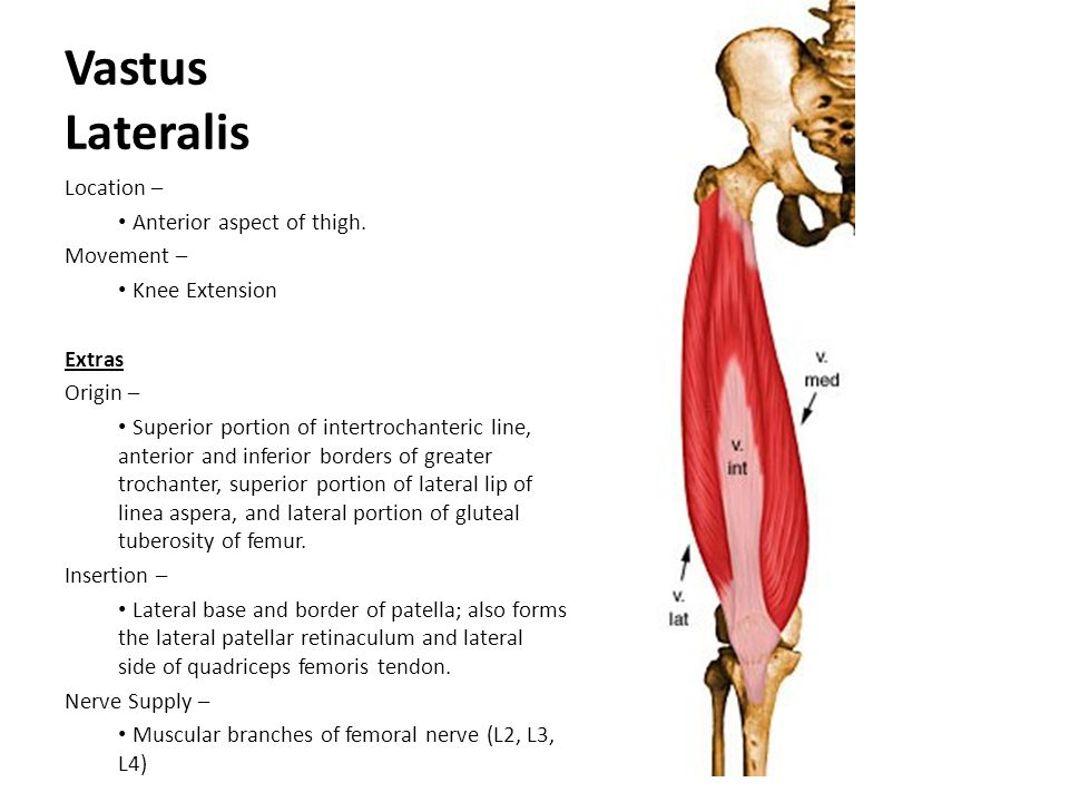 Vastus Lateralis Location – Anterior aspect of thigh. Movement –