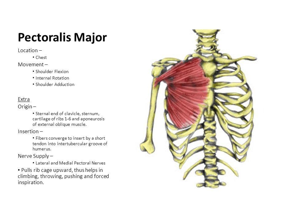 Pectoralis Major Location – Movement – Extra Origin – Insertion –
