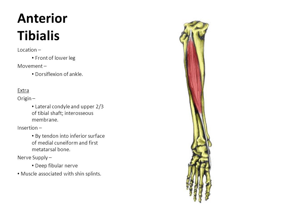 Anterior Tibialis Location – Front of lower leg Movement –