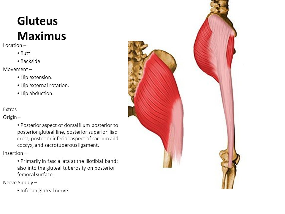 Gluteus Maximus Location – Butt Backside Movement – Hip extension.
