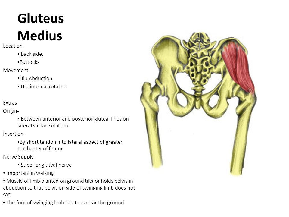 Gluteus Medius Location- Back side. Buttocks Movement- Hip Abduction