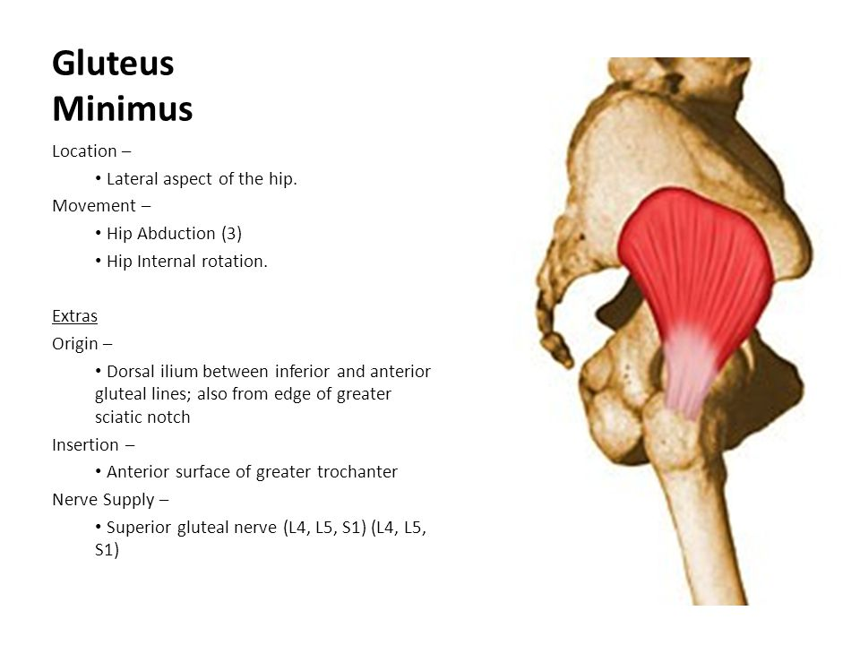 Gluteus Minimus Location – Lateral aspect of the hip. Movement –