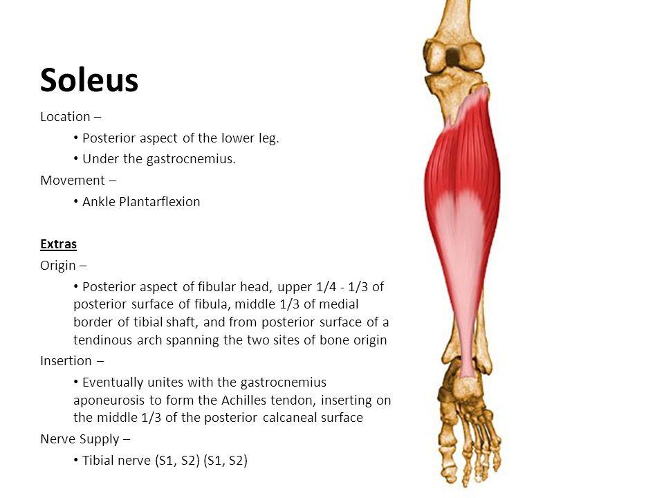 Soleus Location – Posterior aspect of the lower leg.