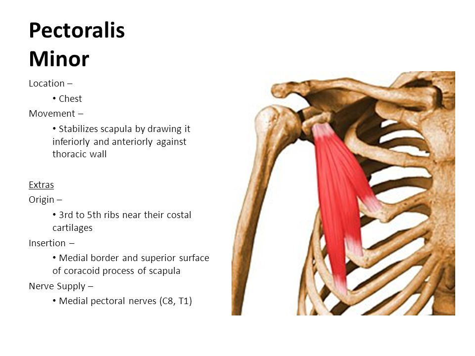 Pectoralis Minor Location – Chest Movement –