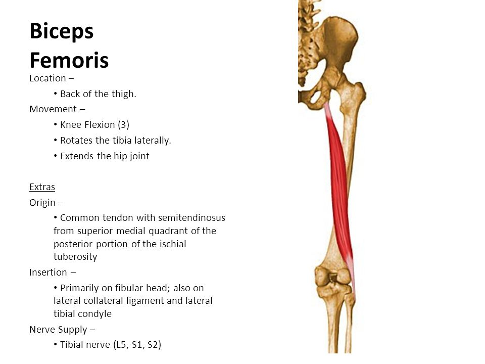 Biceps Femoris Location – Back of the thigh. Movement –