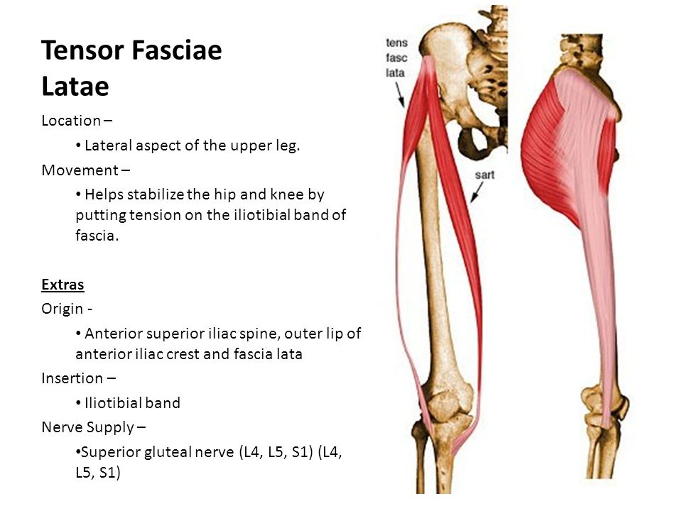 Tensor Fasciae Latae Location – Lateral aspect of the upper leg.